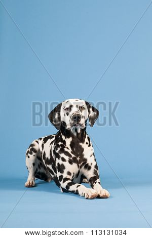 Pure breed Dalmatian dog laying in studio on blue background