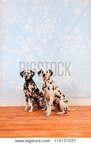 Pure breed Dalmatian dogs together sitting at floor in living room