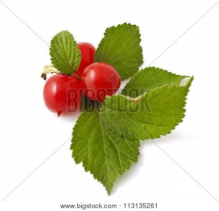 red berry of Prunus tomentosa