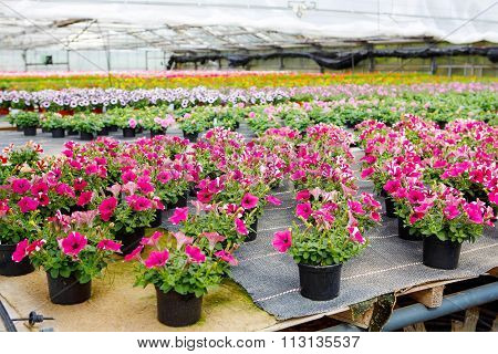 Cultivation of differen flowers in greenhouse