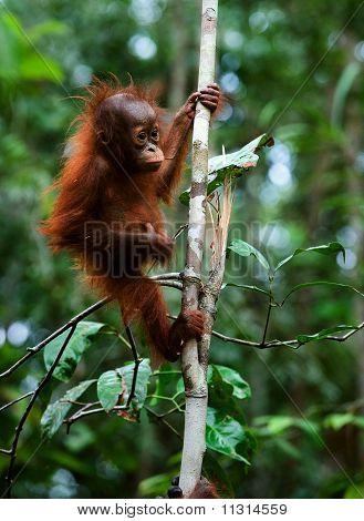 Baby Orangutan (pongo Pygmaeus).