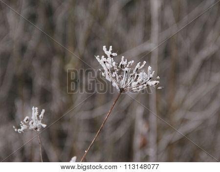 frozen sear plant