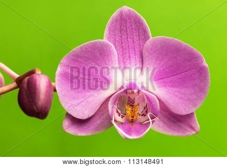 Pink orchid flower on green background.  Orchid flower background