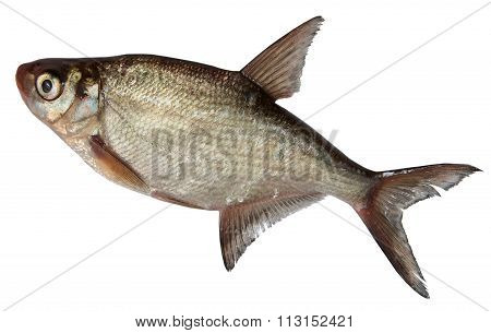River Fish Isolated on white background. roach, Bream