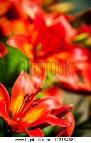 Closeup Shot Of A Tiger Lily