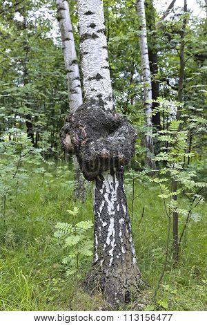 Medicinal Chaga Mushroom On The Trunk Of A Birch