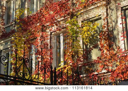 Bright Fall Ivy On The Building Around The Windows In The Sunlight