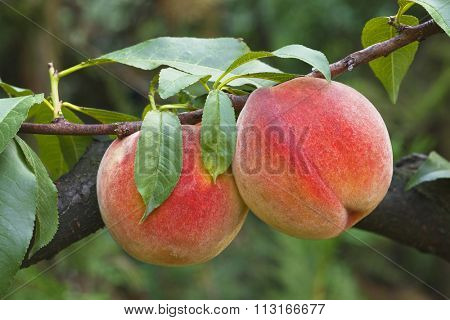 Ripe Peaches on the Branch