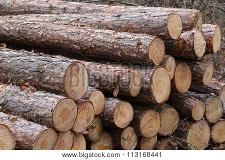 Freshly Cut Tree Logs Piled Up Autumnal Scenery