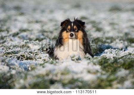 adorable sheltie dog outdoors in winter