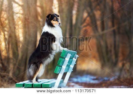 sheltie dog on a bench