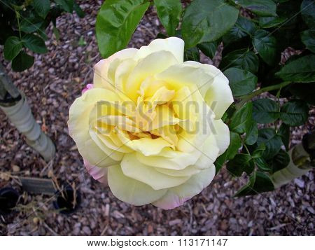 Yellow standard rose flower