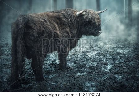 Scottish Cow In The Dark Mystical Forest