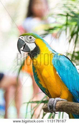 Beautiful Blue-and-yellow Macaw (ara Ararauna)