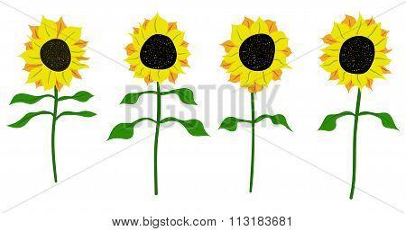 sunflower vector flower nature illustration