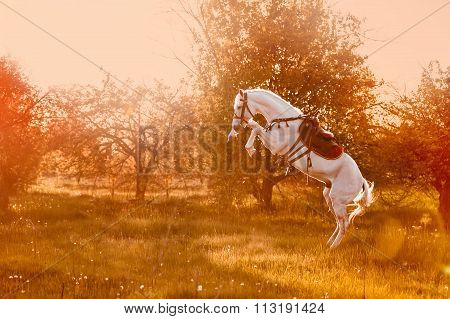A beautiful white stallion stands on its hind legs in sunset light on blurred background.