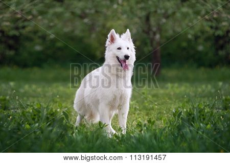 Beautiful fluffy white Swiss Shepherd. The dog stands in a field on a green background blurred garde
