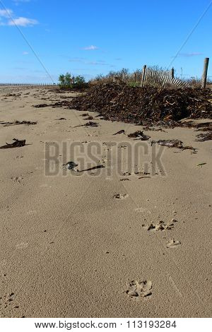 Hog tracks on Texas beach