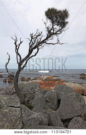 Lone Pine, Binalong Bay, Tasmania