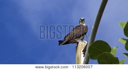 Osprey Looking Down At Viewer