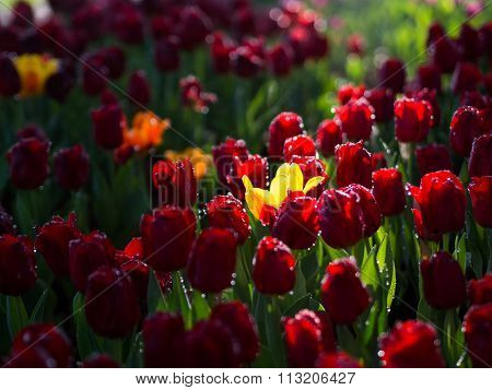 Yellow Tulip Surrounded With Red Tulips