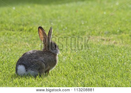 European Rabbit in the grass