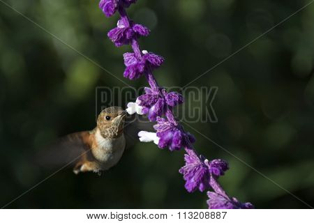 Allen's Hummingbird female flying by flower