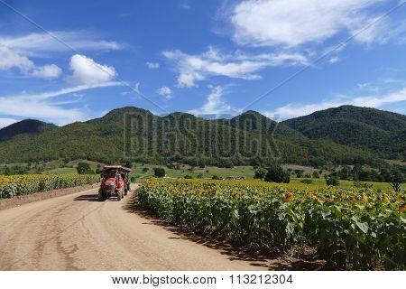 Tourist On Rickshaw Travel In Sunflower Field On The Mountain In Thailand