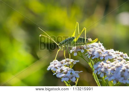 Green grasshopper (Tettigonia viridissima) on a flower Yarrow (Achillea)