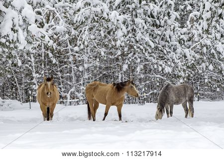 Three Horses In Winter.