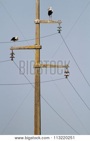 Two White Stork On The Power Line