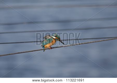 Small Colorful Bird, King Fisher, Sitting.