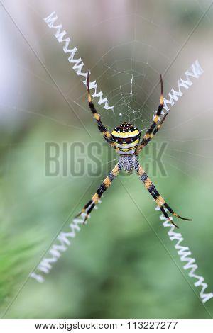 Close Up Of Multi-coloured Argiope Spider