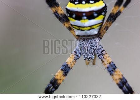 Close Up Of Multi-coloured Argiope Spider