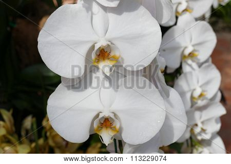 Blooming Whtie Orchid Flower