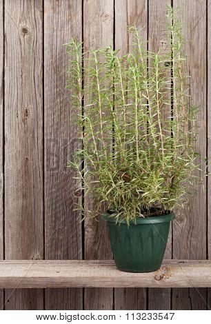 Rosemary herb in flowerpot on wooden shelf
