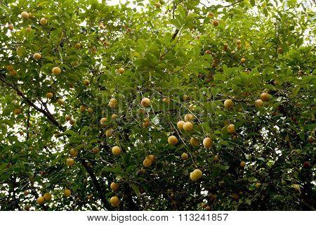 Raw Nutmeg Hanging On Nutmeg Tree, North Sulawesi