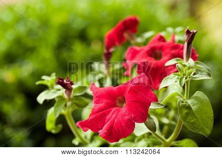 Red Flower Petunia Surfinia Vein