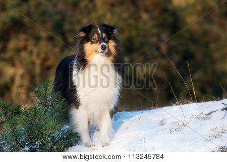 shetland sheepdog outdoors in winter