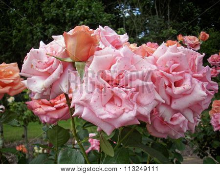 Pink standard rose flowers
