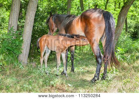 mother horse and little foal