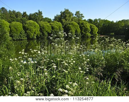 Summer landscape with lake trees and wild white flowers on banks. Recorded in Izmaylovskiy park in Moscow.