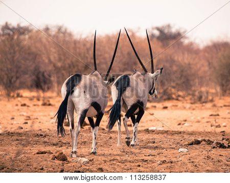 Two gemsbok antelopes walking away