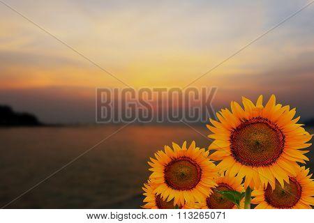 Sunflowers And Golden Sunset Scene