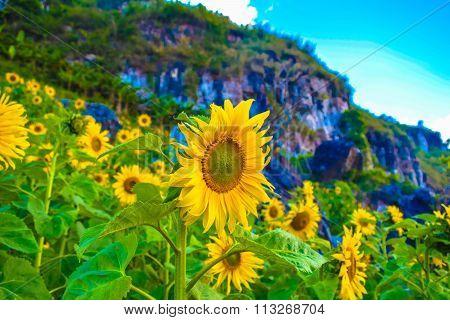 Sunflower in phu chi fa