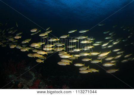 Bigeye Snapper fish school in blue ocean