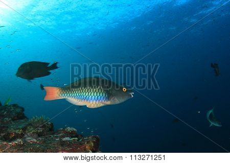 Tropical fish: Parrotfish
