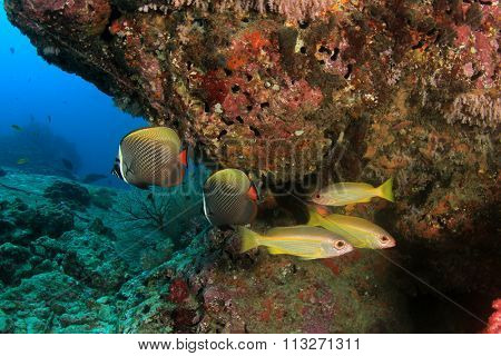 Coral and fish: Butterflyfish, Snappers