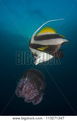 Bannerfish eating jellyfish fish underwater ocean