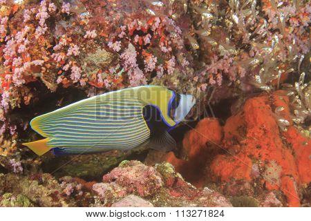 Tropical fish coral reef: Emperor Angelfish